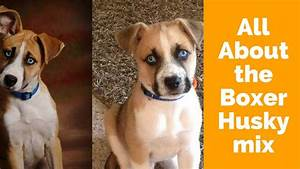 All About The Boxer Husky Mix  Boxsky