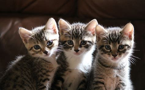 cat 3 three kitten wallpapers and images wallpapers