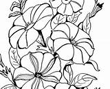 Petunia Coloring Adult Flower Petunias Drawing Clipart Plant Line Pumpkin Pages Clip Fairy Simple Clipartmag Graphics sketch template