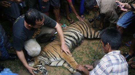 Wisata ternak kandang macan, lokasi wisata di jl. Wisata Ternak Kandang Macan - Harimau Serang Ternak Warga ...