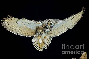 Animal - Bird - Great Horned Owl Wings Spread Photograph ...