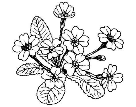 Primula Coloring Page