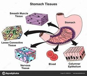 Diagram  Lung Tissue Diagram Full Version Hd Quality