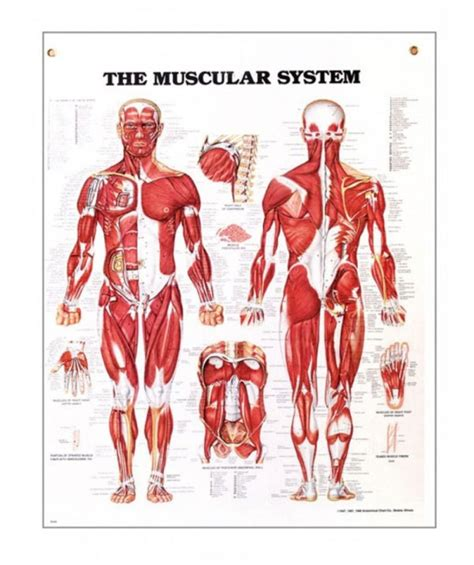 First, we have the identifying proper names for each muscle. The Muscular System | Anatomy Posters and Anatomy Charts