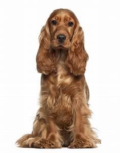 English Cocker Spaniel | Dog Breed Gallery