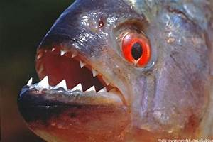 Interesting facts about piranhas | Just Fun Facts