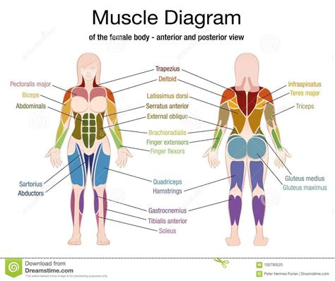 Large quad muscle, to the transverse abdominis. Pin on اكل