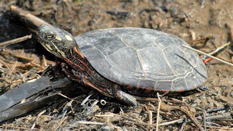 painted turtle eastern painted turtle