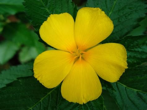 yellow tropical flower   petals wallpaperscom