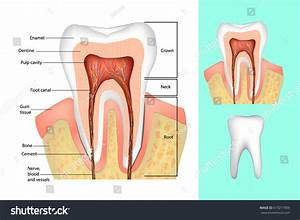Tooth Structure Medical Diagram Structure Inside Stock