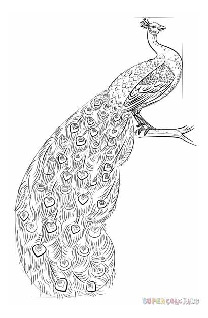 Peacock Draw Step Drawing Line Hard Contour