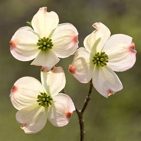 dogwood tree blooms dogwood tree a cross and the blood of christ on the flower i was told this as a child