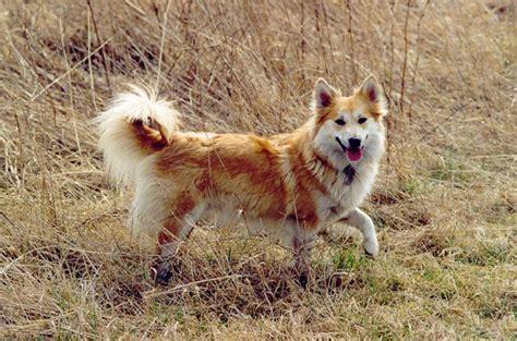 icelandic sheepdog breed guide learn   icelandic