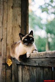 Beautiful Siamese Cat