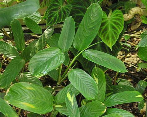 gardensonline ctenanthe lubbersiana