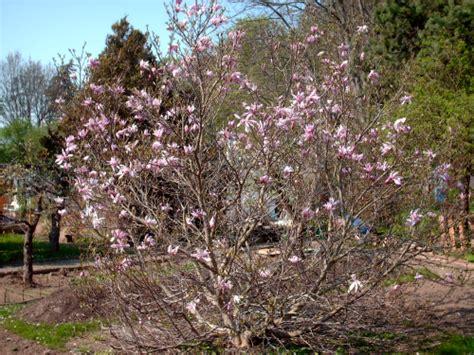 wie schneidet eine magnolie schneiden 187 gartenbob de der gartenratgeber