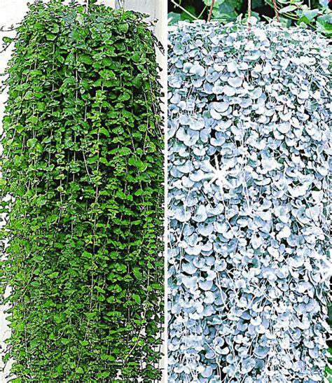 Hängepflanzen Balkon Mehrjährig by H 228 Ngepflanzen Kollektion Sommerblumen Bei Baldur Garten