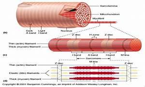 Skeletal Muscle Fiber Labeled