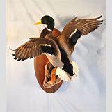 Drake Mallard Duck   1308 x 1477 jpeg 165kB