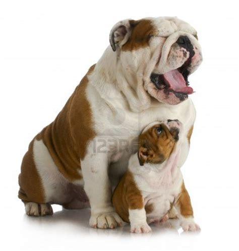 cerco in regalo cerco bulldog inglese in regalo petpassion