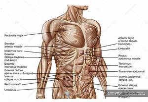 Anatomy Of Human Abdominal Muscles With Labels  U2014 White