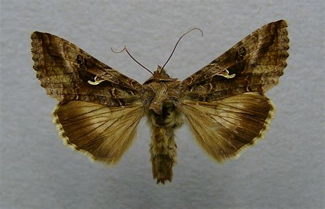 http://commons.wikimedia.org/wiki/File:Autographa_gamma.o1.jpg