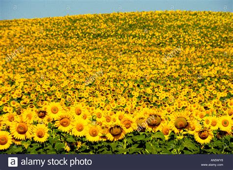 Sunflower Sunflowers Vincent Van Gogh Stock Photo Royalty