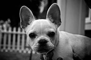 Hundebekleidung Französische Bulldogge : franz sische bulldogge viel ohren und herz gublog ~ Frokenaadalensverden.com Haus und Dekorationen