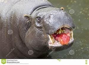 Baby Pygmy Hippo Eating | www.pixshark.com - Images ...