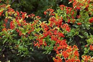 Busch Mit Roten Beeren : strauch mit vielen roten beeren stockfoto colourbox ~ Markanthonyermac.com Haus und Dekorationen