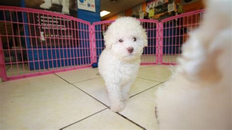 beautiful  white poodle puppies  sale georgia