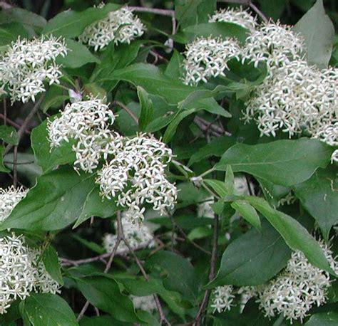 dogwood bush gray dogwood cornus racemosa lam 01a flowering