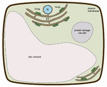 Cell Animal Plant Cells Functions Parts Labeled