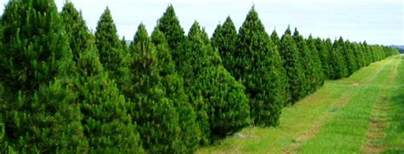 about us melbourne christmas tree farm