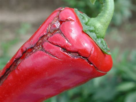 http://www.omafra.gov.on.ca/IPM/english/peppers/diseases-and-disorders/fruit-cracking.html