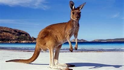 Kangaroo Facts Habitat Worksheets Diet Animals Legs