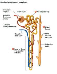 Kidney and Nephron Diagram Labeled