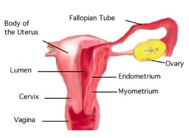 difference between cervix and uterus cervix vs uterus
