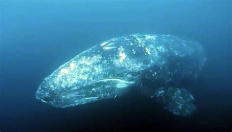 close encounter monterey area scuba diver dives
