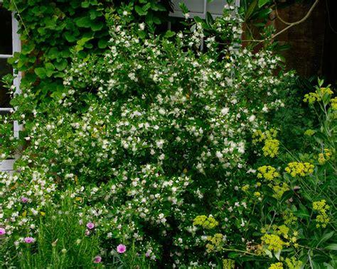 gardensonline myrtus communis