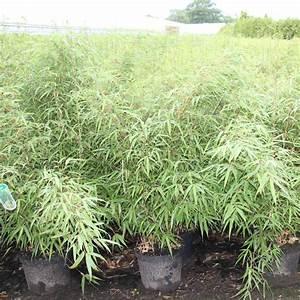 Rasendünger Selber Machen : bambus fargesia rufa bambus fargesia rufa g nstig kaufen bambusb rse bambus rufa online kaufen ~ Eleganceandgraceweddings.com Haus und Dekorationen