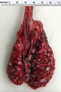 The Dissected Lungs Of The Rabbit Shown In The Lung Lobes