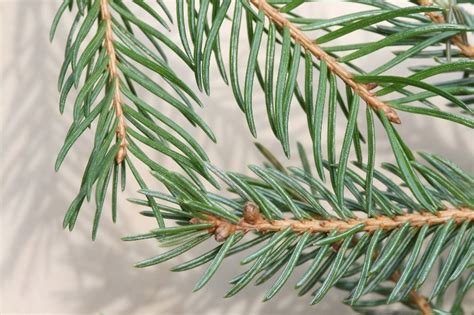 picea abies norway spruce  botany