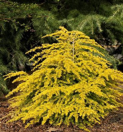 Golden Plants Hemlock Duchess Dwarf Evergreen Yellow
