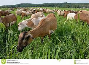 Goats Eating Grass Stock Photo  Image Of Field  Leaves