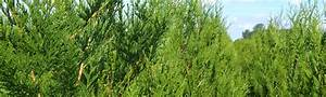 Thuja Brabant Oder Smaragd : thuja smaragd brabant portugiesischer kirschlorbeer und taxus ~ Orissabook.com Haus und Dekorationen