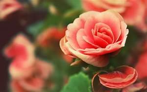 Wallpaper Pink Roses   Free Download Wallpaper   DaWallpaperz