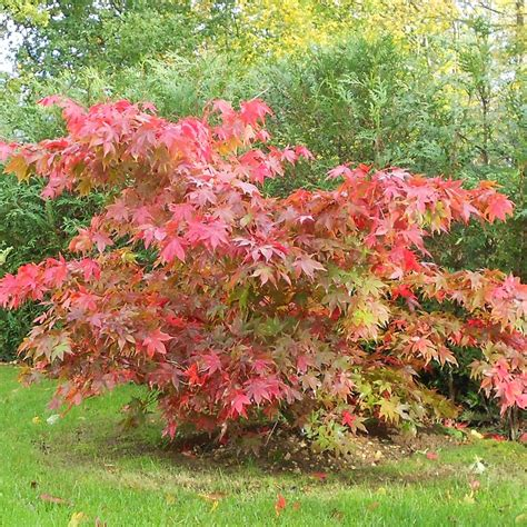 small japanese maple acer palmatum osakazuki japanese maple tree small specimen trees pinterest acer