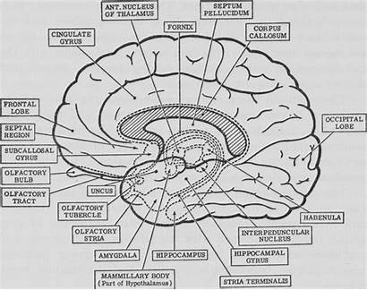 Brain Coloring Anatomy Pages Psychology Diagram Neuroanatomy