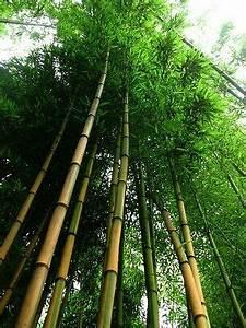 Immergrüne Kletterpflanze Winterhart : goldener bambus phyllostachys aureosulcata aureocaulis hecke winterhart garten eur 4 99 ~ Yasmunasinghe.com Haus und Dekorationen
